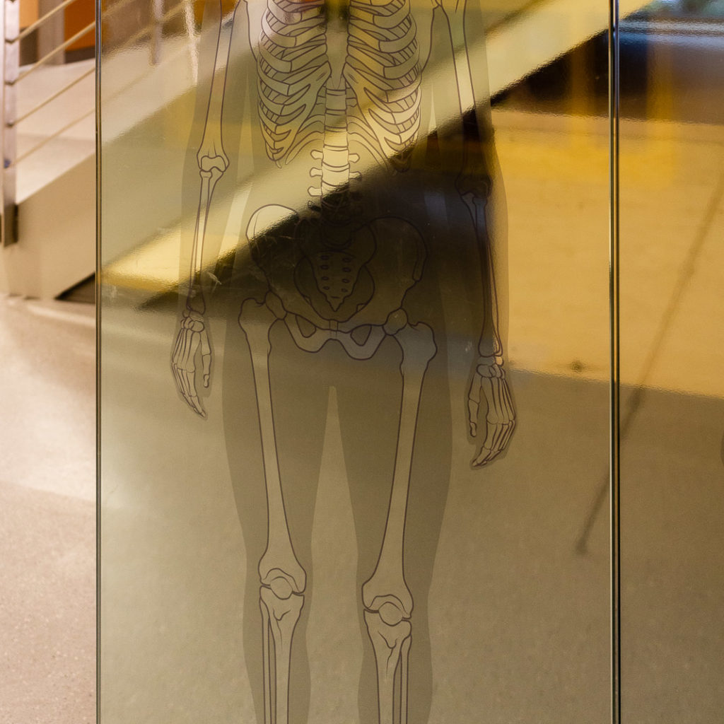 Engaging graphics on glass of the circulatory system and bone structure allow students to see how it applies to their own bodies.